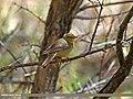 Sulphur-bellied Warbler (Phylloscopus griseolus) (27491281340).jpg
