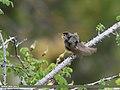 Sulphur-bellied Warbler (Phylloscopus griseolus) (35678482262).jpg