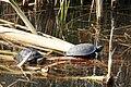 Sumpfschildkröte MGH.jpg
