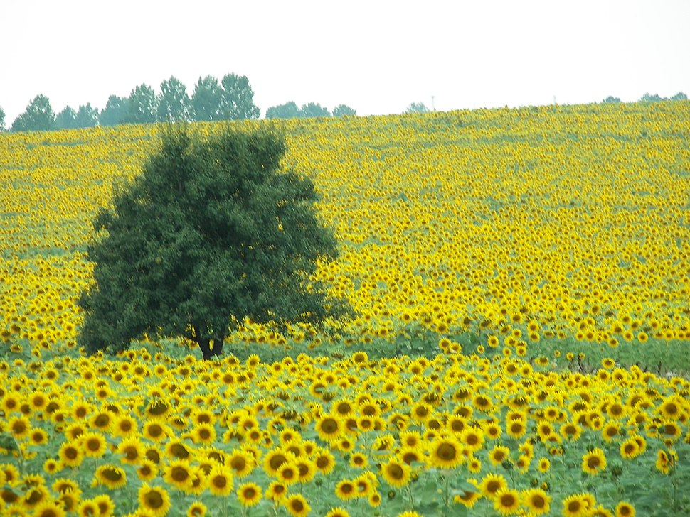 Sunflowers Bulgaria 2