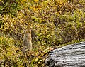 Suslik ártico (Spermophilus parryii), Parque nacional y reserva Denali, Alaska, Estados Unidos, 2017-08-29, DD 113.jpg