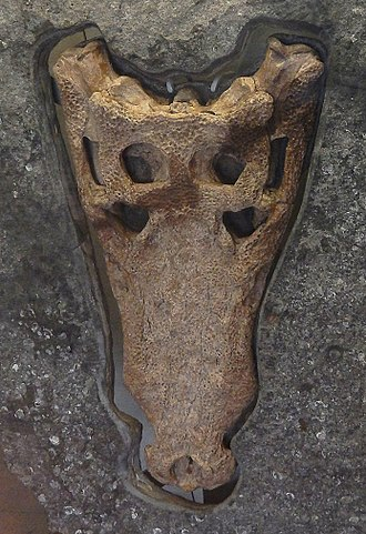 "Goniopholis - Skull of the ""Swanage Crocodile"", G. kiplingi. Berriasian age (earliest Cretaceous)"