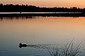 Swimming duck at sunset (3417429890).jpg