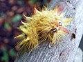 Sycamore (Acronicta aceris) caterpillar.jpg