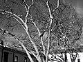 Sycamore Tree? (50855791282).jpg