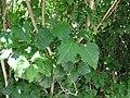 Syringa vulgaris eaten by Otiorhynchus meridionalis.jpg