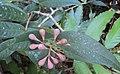 Syzygium Munronii 11.JPG