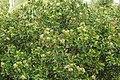 Syzygium caryophyllatum 07847.jpg