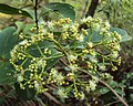 Syzygium caryophyllatum 31.JPG