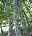 Taopan bambus.jpg