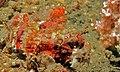 Tasseled Scorpionfish (Scorpaenopsis oxycephala) juvenile (8471653834).jpg