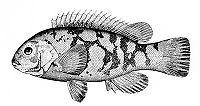 Tautoga onitis (line art).jpg