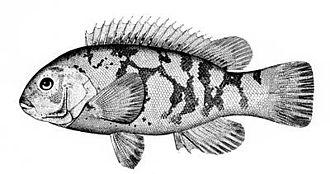 Tautog - Image: Tautoga onitis (line art)