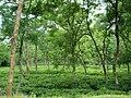 Tea Garden in Malini chora Sylhet Bangladesh (2).JPG