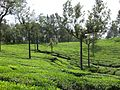 Tea estate - panoramio.jpg