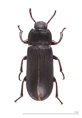 [Entomophagie] Elevage de ténébrions 290px-Tenebrio_molitor_MHNT