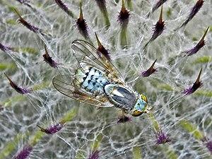 Terellia serratulae - Terellia serratulae. Male on a Cirsium flowerhead