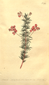 The Botanical Magazine, Plate 465 (Volume 13, 1799).png