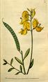 The Botanical Magazine, Plate 85 (Volume 3, 1790).png