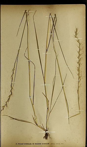 File:The British farmer's plant portfolio - specimens of the principal British grasses, forage plants and weeds - with full descriptions (1896) (14593249480).jpg