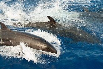 False killer whale - Pod of false killer whales