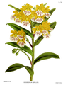 The Orchid Album-02-0081-0074-Epidendrum wallisii.png