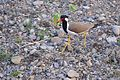 The Red Wattled Lapwing 02.jpg