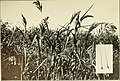 The book of grasses - an illustrated guide to the common grasses, and the most common of the rushes and sedges (1912) (14763556945).jpg