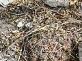 Thelocactus hexaedrophorus ssp. jarmilae (5706348215).jpg