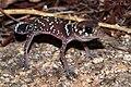 Thick-tailed Gecko (Underwoodisaurus milii) (8637622668).jpg