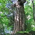 Thuja occidentalis (eastern arbor vitae tree) (Natural Bridge State Park, Virginia, USA) 4 (27804926835).jpg