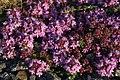 Thyme (Thymus polytrichus), Baltasound - geograph.org.uk - 1366203.jpg