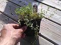 Thyme plant.jpg