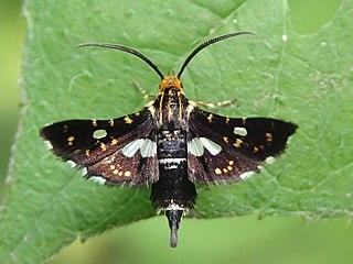 <i>Thyris usitata</i> species of insect