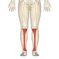 Tibia - posterior view.png