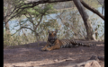Tiger in Ranthambore 35.png