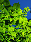 Tilia cordata - leaves 01.jpg