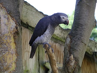 Psittacus - Timneh parrot (wings clipped)