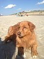 Tollers love water! Their hair becomes crimped when wet.jpg