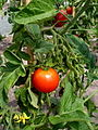 Tomate Outdoor Girl P1020495.JPG