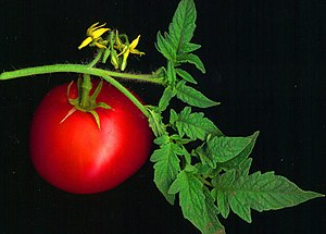 A scanned red tomato, along with leaves and fl...