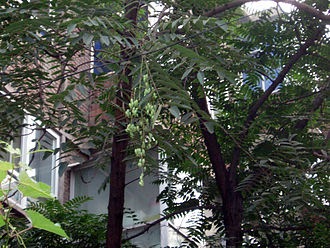 Toona - Chinese Toon tree (Toona sinensis)