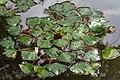 Trapa japonica leaf in Yokotake, Kanzaki.jpg