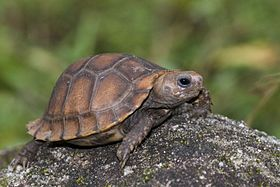Travancore Tortoise (Indotestudo travancorica) by Sandeep Das.jpg
