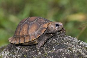 Description de l'image Travancore Tortoise (Indotestudo travancorica) by Sandeep Das.jpg.