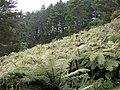 Tree ferns on valley slope.jpg