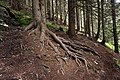 Tree roots in France.jpg