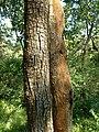 Tree trunks dry deciduous.jpg