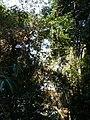 Trees, Brownsberg.JPG