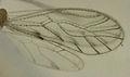 Trichopsocus clarus wings.jpg